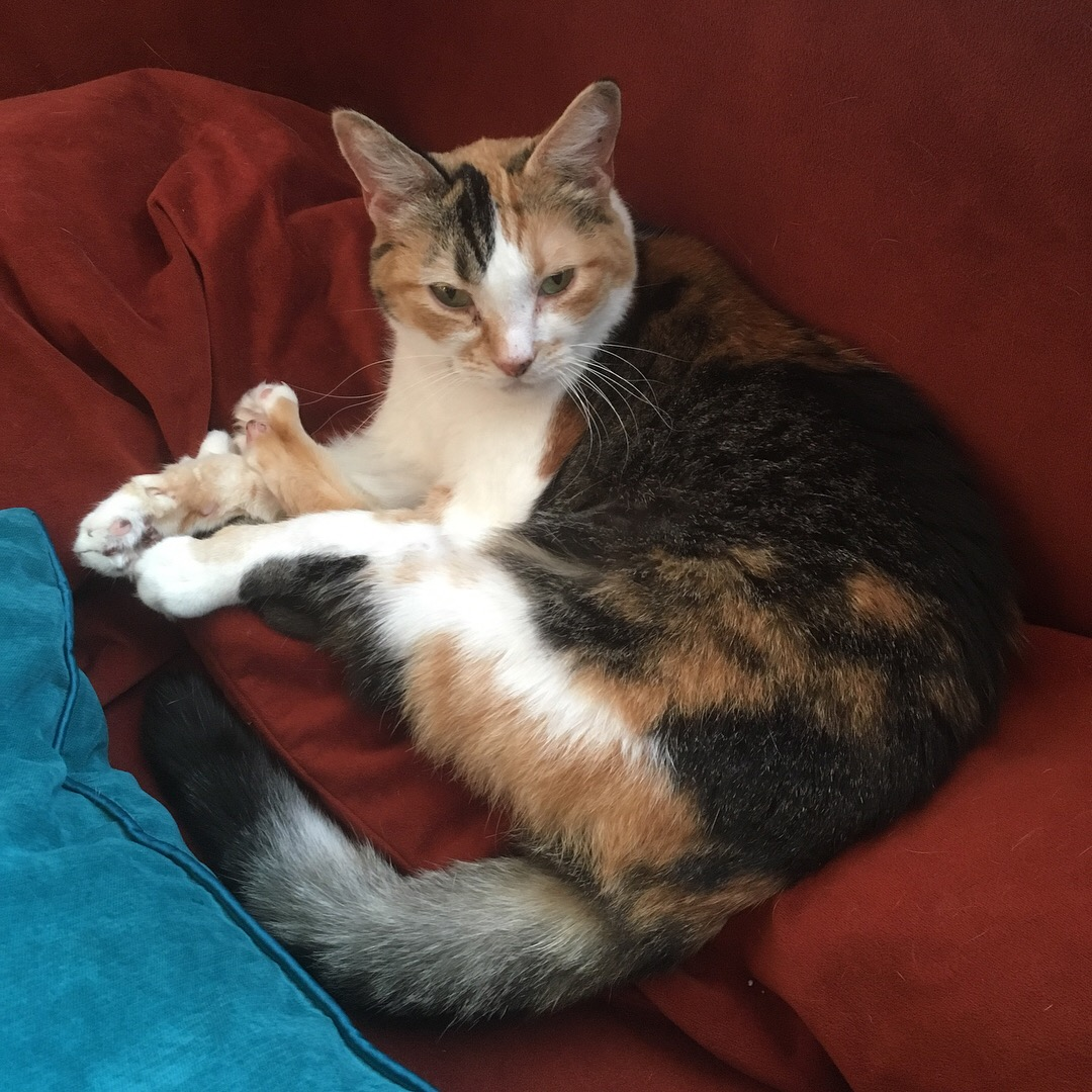 Fiona, a petite calico cat, lying on her side on the back cushion of a sofa with all four of her paws stacked on top of each other